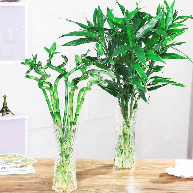 2020 Big Sale Of Lucky Bamboo Plants Bonsai Good Luck Plants