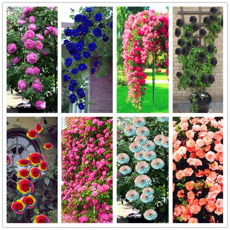100 adet Tayland Tırmanma Beautyful Gül tohumları, nadir bitki gül tohumları, bonsai Saksı Çiçekli Bitkiler Ev Bahçe için