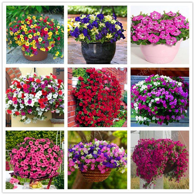 100 PCS Mix Couleur Plantes Suspendues Pétunia Plantes Melissa Plantes À Fleurs Originaires Fleurs Vivaces Pour La Maison Jardin Bonsaï Plantation En Pot