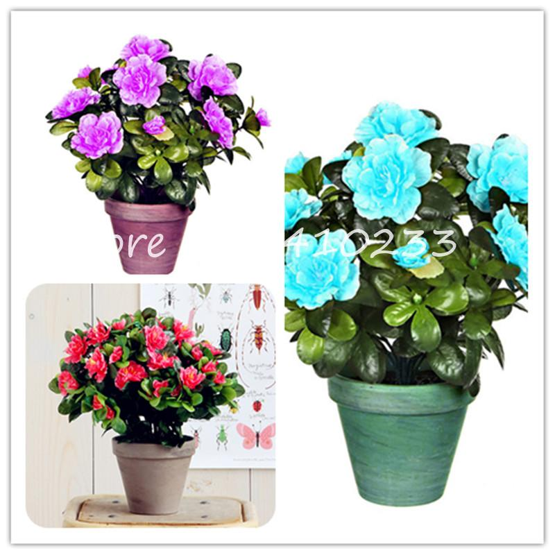 2020 Bonsai Seeds Bright Flower Japanese Azalea Bonsai Rhododendron Azalea Flower Bonsai Tree Plant Diy Garden Easy Grow From Ymhqw1 1 8 Dhgate Com