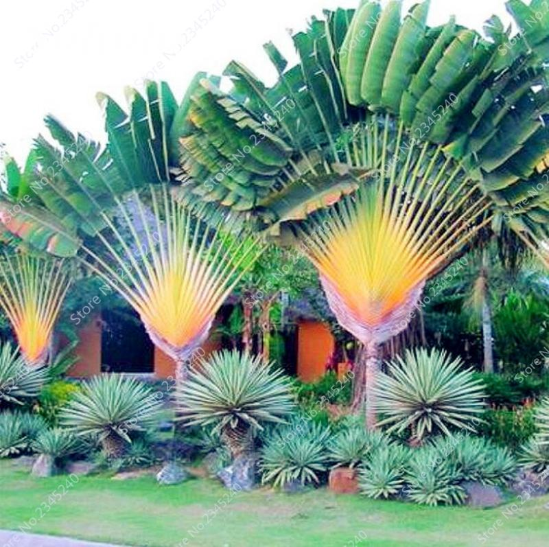 10 pcs / bag Japan Cyas Seeds Indoor Drawf Bonsai Potted Outdor Sago Palm Tree Flower Plant for Home Garden Pot Decor Easy to Grow