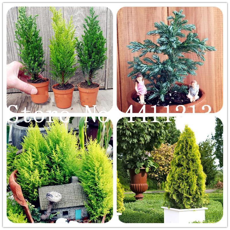 50PCS النادرة بذور النباتات السرو الأشجار بونساي، الصنوبرية شجرة سرو، الخضرة النباتية المناظر الطبيعية، و 100٪ صحيح مزروع النباتية للالمنزل والحديقة سهل النمو