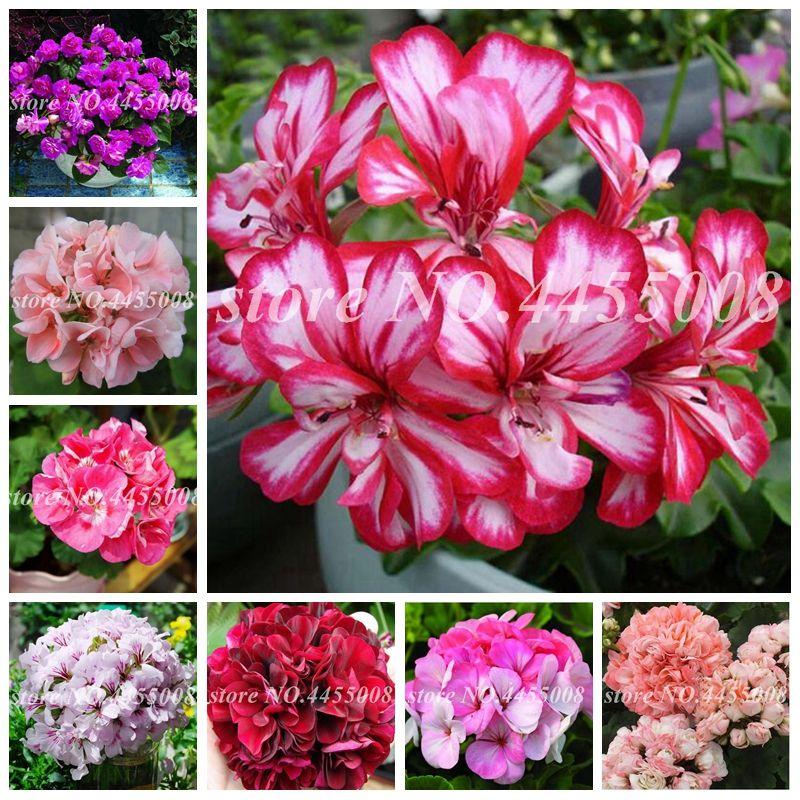 Sıcak ! 200 Adet Tohumlar Mul-Renk Sardunya Çiçek Bonsai Ev Bahçe için Nadir Çok yıllık Pelargonium peltatum Saksı Kapalı Odalar Dikim