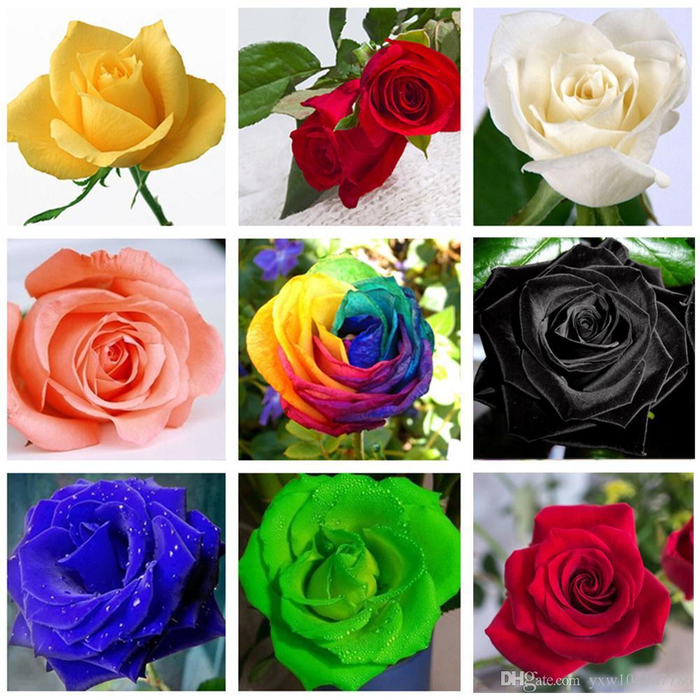 60 piezas raras de semillas negro rosado azul Multicolor Rosas Semillas de plantas en maceta Balcón Jardín flores de Rose