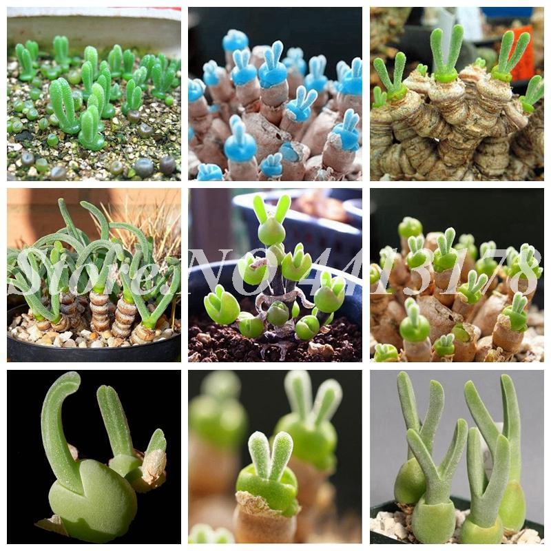 200 pcs sac de viande Pseudotruncultitella pot lotus mini succulente graines de bonsai de bonsaï rares fleurs lithops poussent jardin charnu usine facile / hqlel