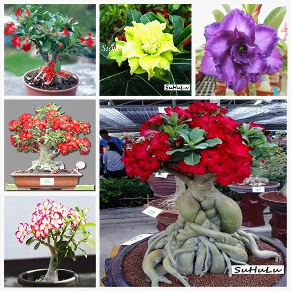 2021 100 True Adenium Obesum Bonsai Exotic Desert Rose Flowers Balcony Desert Rose Bonsai Multicolor Petals Succulents Tree Seeds From Ymhzpy 1 24 Dhgate Com