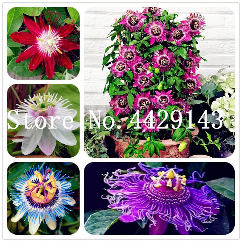 Büyük indirim! Ev Bahçe için 200 Adet Tohumlar Mavi Passion Flower (Passiflora incarnata'nın) Passion Fruit Bonsai Tropikal Çiçek Saksı Çiçekleri