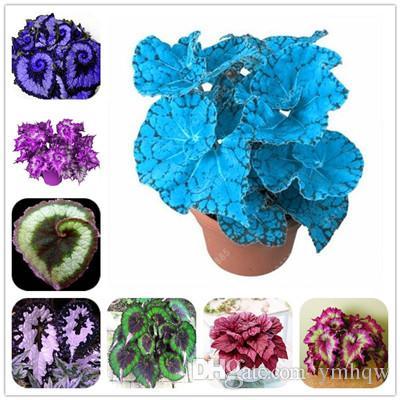 100 Adet Benzersiz 24 Renkler Begonya Çiçek Tohumları, Avlu Balkon Coleus Saksı Çiçek Tohumları, Çeşitli Komple, Tomurcuklanan Oranı 95%