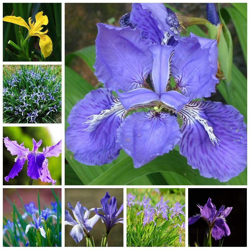 200 piezas / bolsas Semillas Rare Iris Colores Bonsai Flower Heirloom Malan Tectorum PERNORE PERNORE Plant para la decoración del jardín del hogar Fácil de cultivar