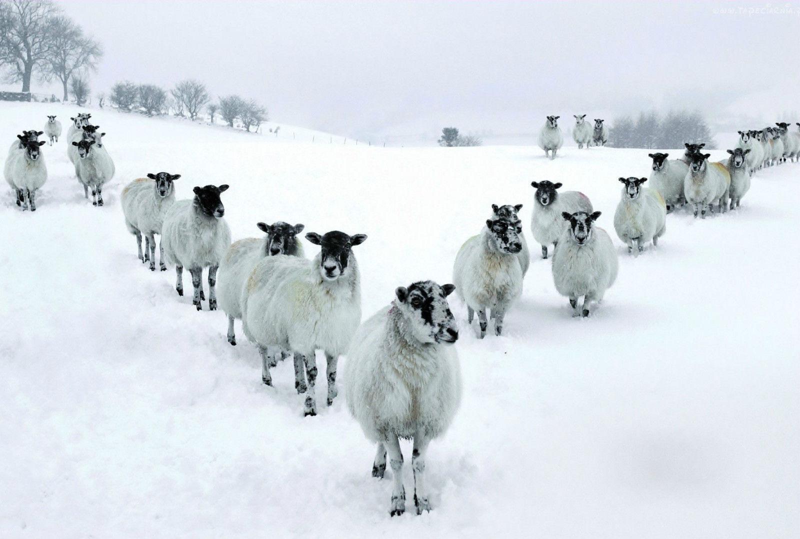 Bir Kar kaplı beyaz Koyun Alan Sanat İpek Baskı Poster 24x36 inç (60x90 cm) 089