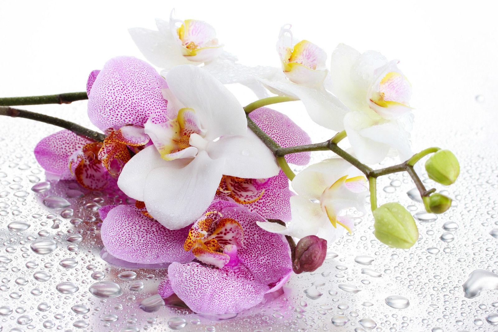 Pink and White Orchid Flowers (Plant Carnation Daisy Rose) Art Silk Print Poster 24x36inch(60x90cm) 045