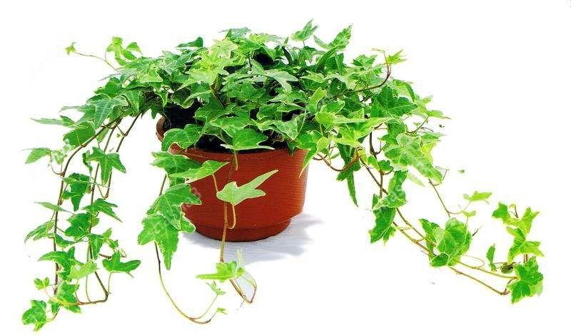 Vente chaude! Vert Boston Ivy bonsaïs bonsaïs Ivy pour le bricolage jardin Plantes d'extérieur de Drop Shipping