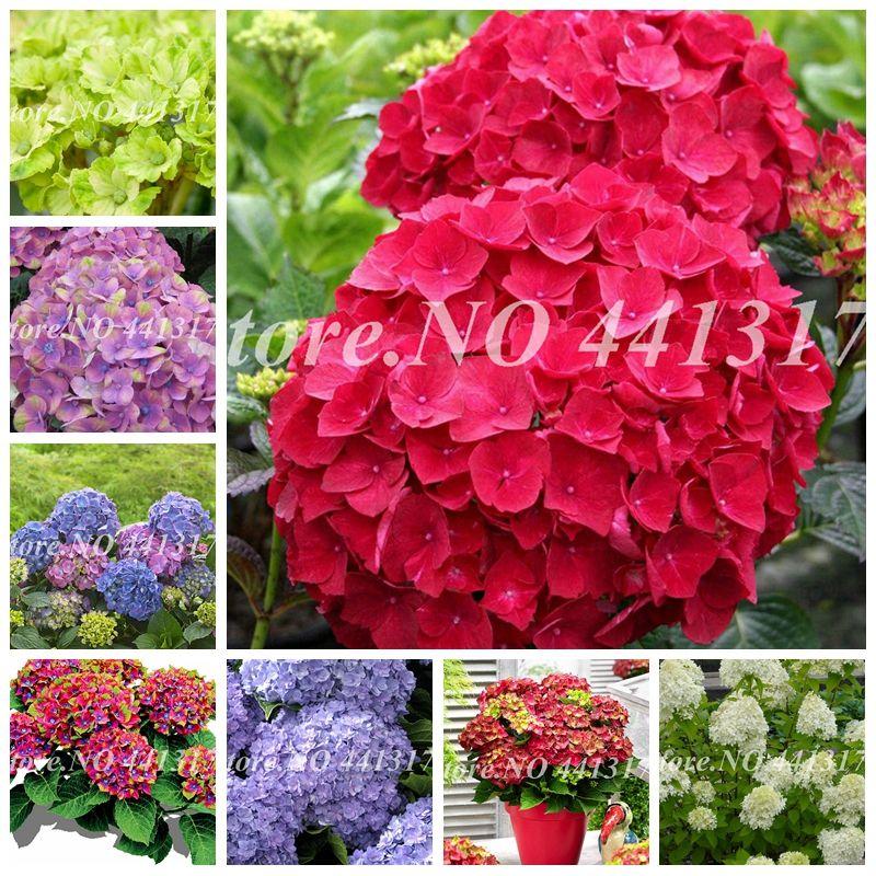 100 Pcs Seeds Climbing Hydrangea Bonsai Hydrangea Paniculata 'Vanilla Fraise' Potted Hydrangea Flower Plant for Home Garden Planting