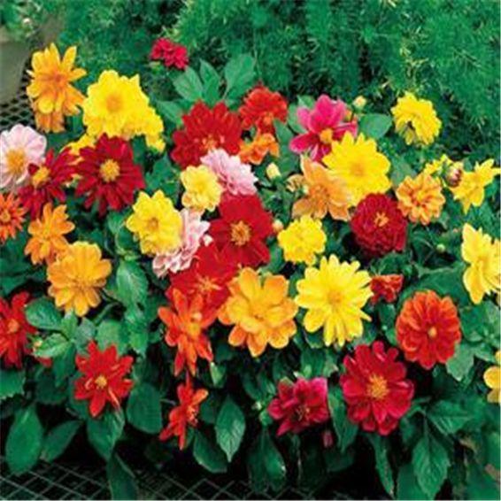 100 pcs Dahlia pinnata Japanese rare perennial beautiful indoor or outdoor flower plants suitable for family garden plants