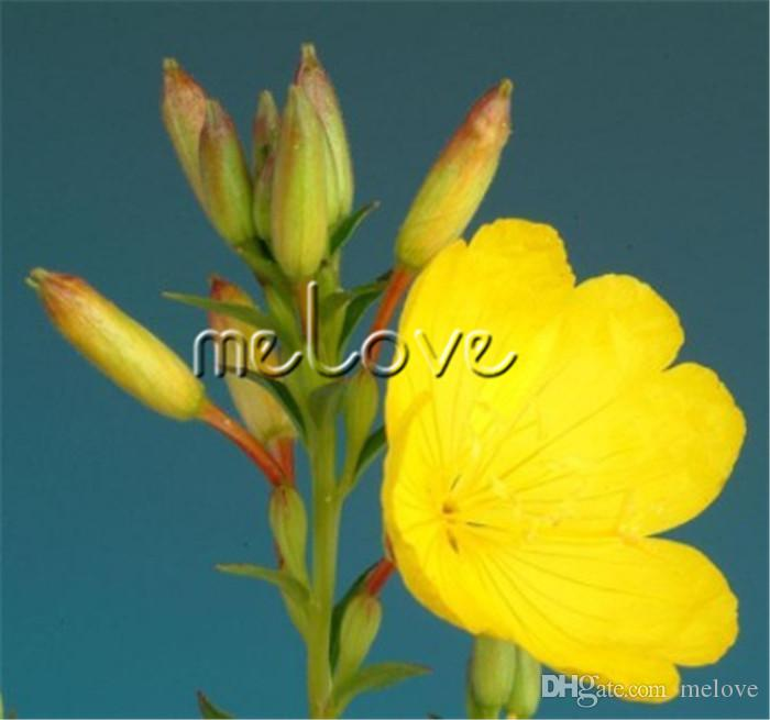 2018 1000 seeds yellow evening primrose flower fragrant herb flower 2018 1000 seeds yellow evening primrose flower fragrant herb flower biennial or perennial plant with wonderful scent from melove 502 dhgate mightylinksfo