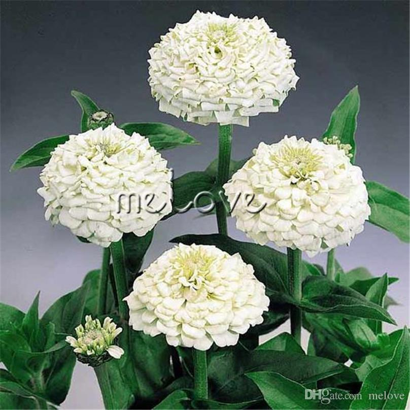 2018 white zinnia elegans cut flower variety tall stem 100 seeds 2018 white zinnia elegans cut flower variety tall stem 100 seeds ideal for beds and containers and for cutting annual flowering diy home garden from melove mightylinksfo