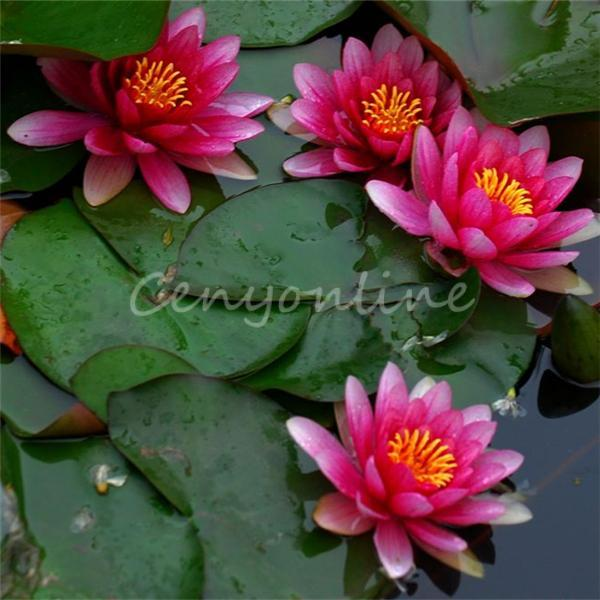 2019 High Germination Nymphaea Asian Water Lily Pad Flower Pond
