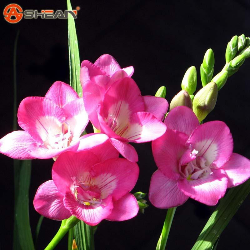 2018 pink freesia seeds freesia flower pot garden seeds garden 2018 pink freesia seeds freesia flower pot garden seeds garden terrace perennial flower seeds from jonemark2014 100 dhgate mightylinksfo