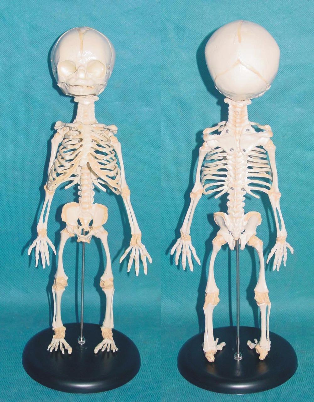 Human Baby Skeleton Model Medical Spine Model Vertebral Bone ...