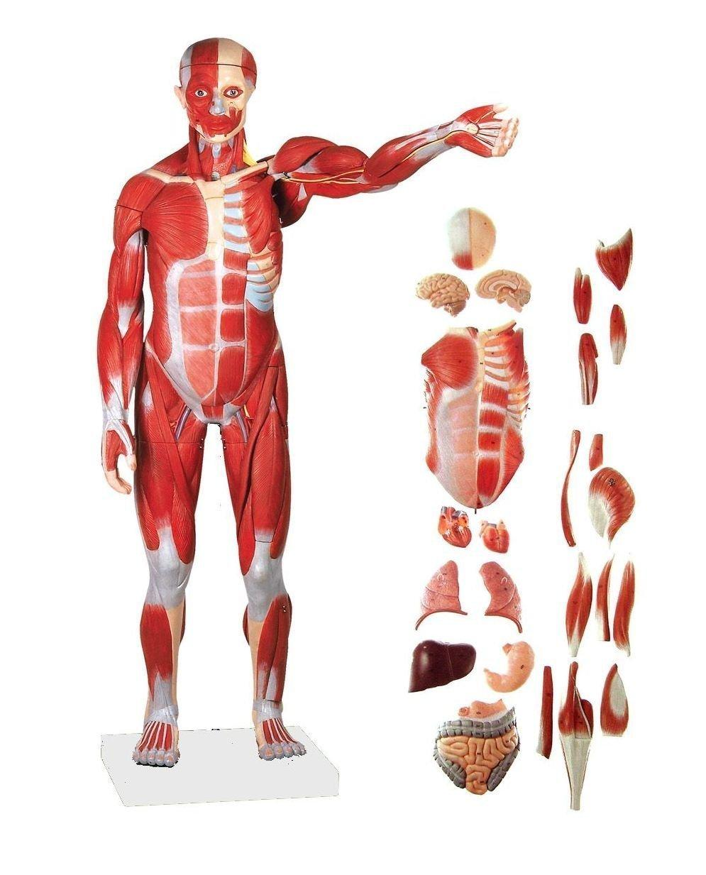 product anatomical human muscular figure model, 27 part, 1/2 life, Muscles