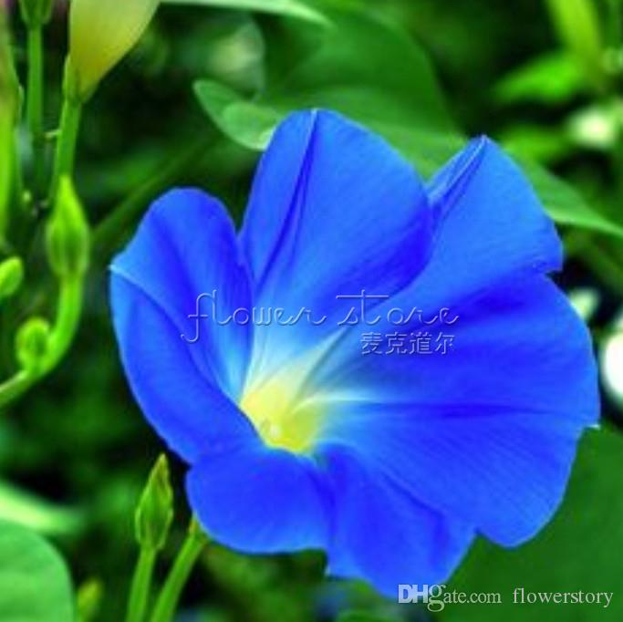 20 Heavenly Blue Morning Glory Seeds impressive! Free Shipping TT238