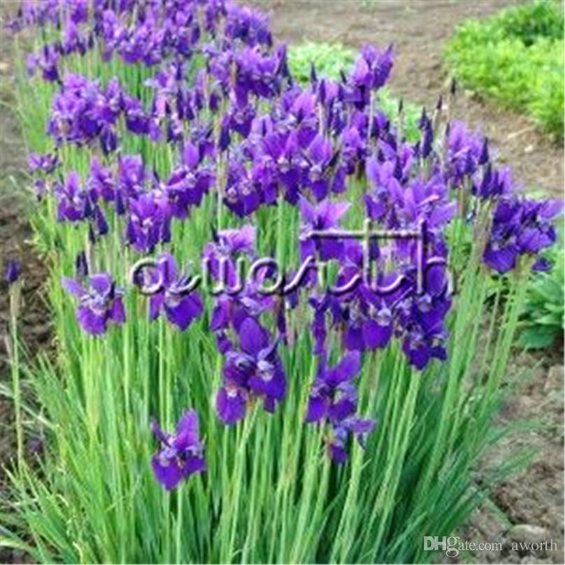 2019 20 Seeds Germanica Iris Blue Purple Easy To Grow From Seeds