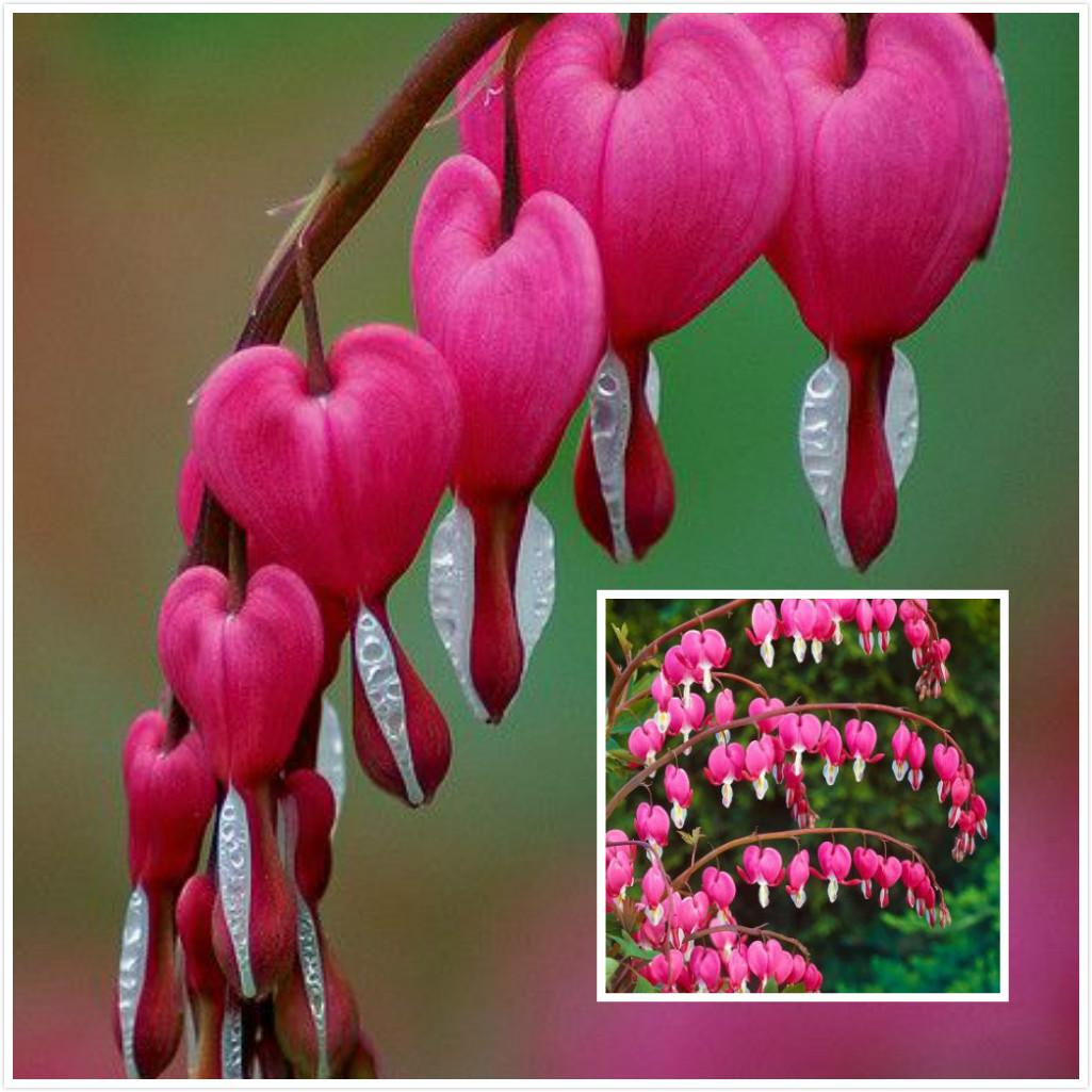 Best 100 dicentra spectabilis seeds bleeding heart classic cottage best 100 dicentra spectabilis seeds bleeding heart classic cottage garden plant heart shaped flowers ss265 under 075 dhgate mightylinksfo