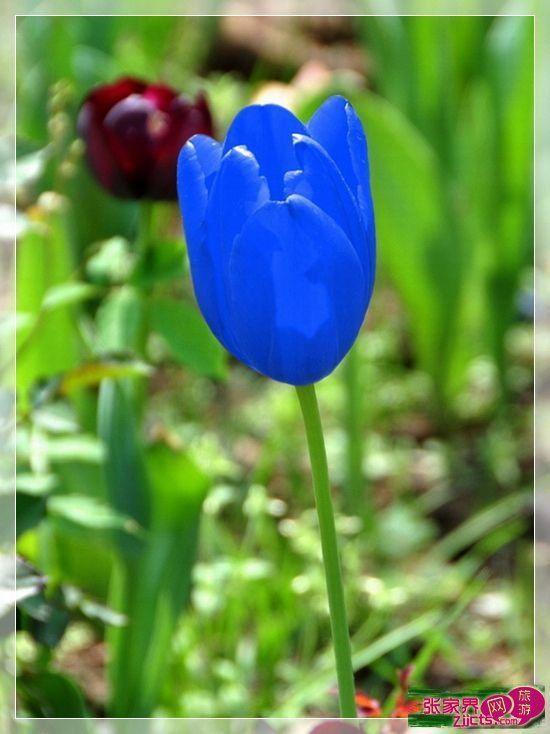 Compre Semillas De Plantas Mayores Bombilla De Tulipán Azul Rara