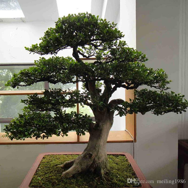 2017 /Bag Banyan Tree Seeds Ficus Ginseng Seeds Bonsai Seeds Green ...