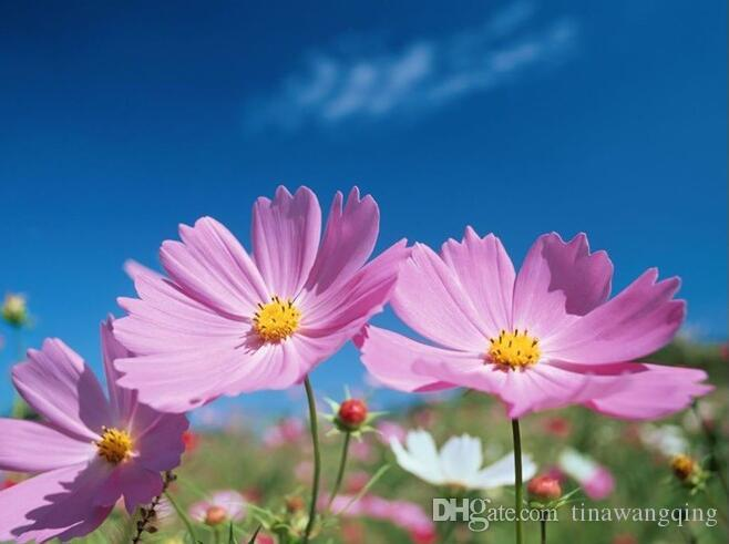 compre semilla de flor, semillas del cosmos, qiu ying, cosmos
