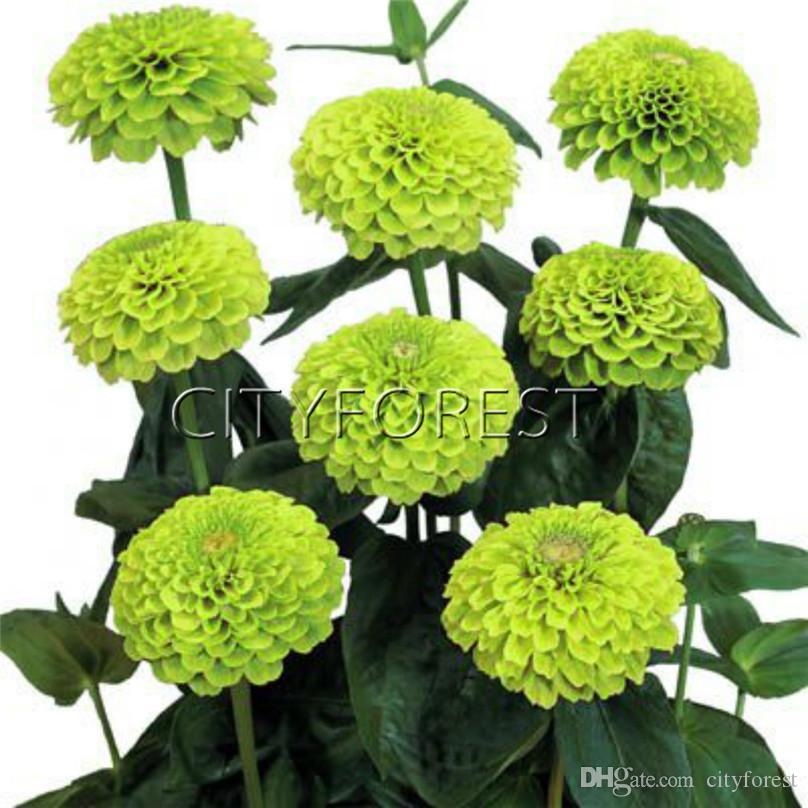 Acheter 100 Graines Zinnia Vert Double Fleur Fleur Avec Tige Forte