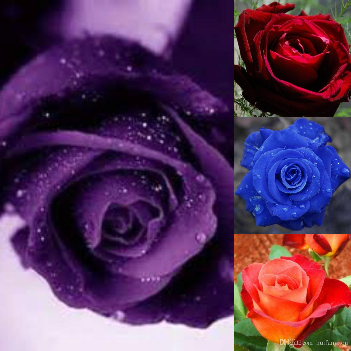 Hot Selling Colorful Rainbow Rose Seeds Purple Red Black White Pink