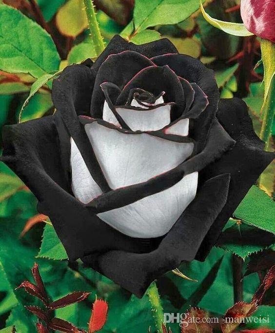 Acheter Expédition Rapide Ombre Noir Rouge Et Blanc Rose Graines De ...