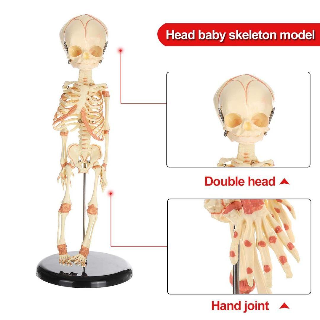 36cm Human Baby Anatomy Skull Skeleton Anatomical Brain Skeleton