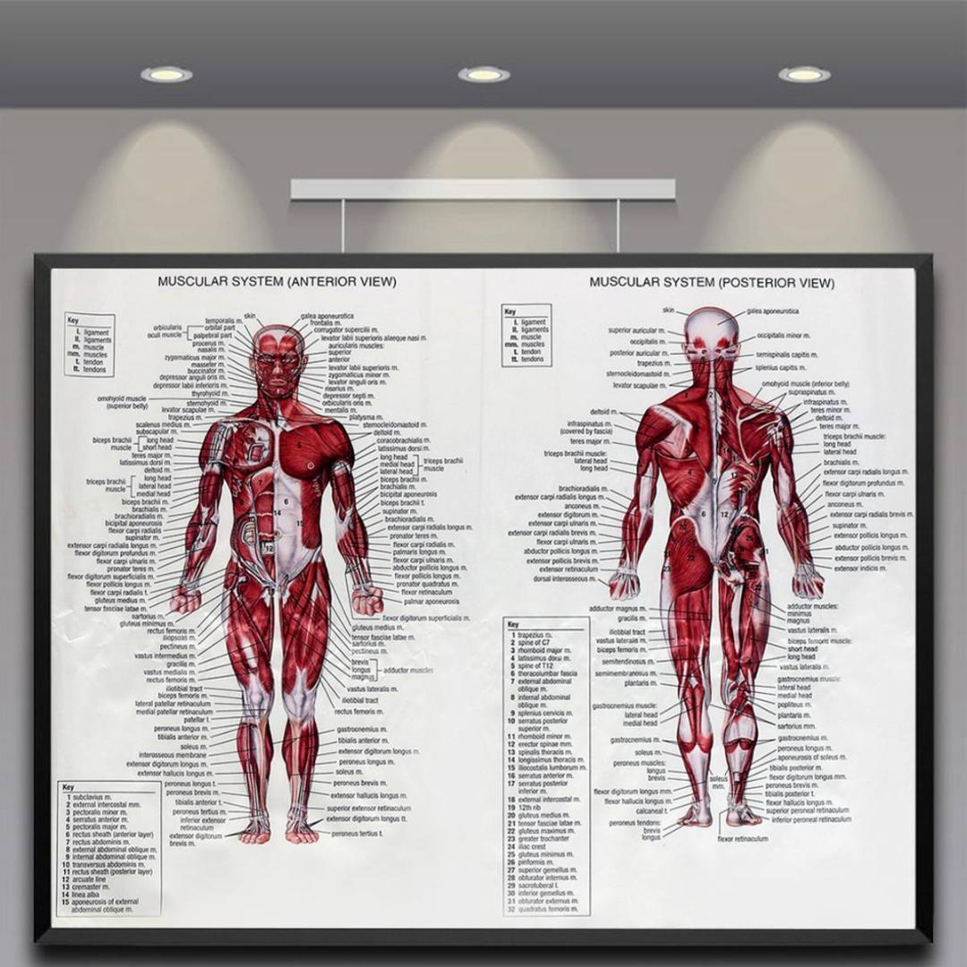 Silk Cloth Muscle System Posters Anatomy Chart 60x80cm Human Body