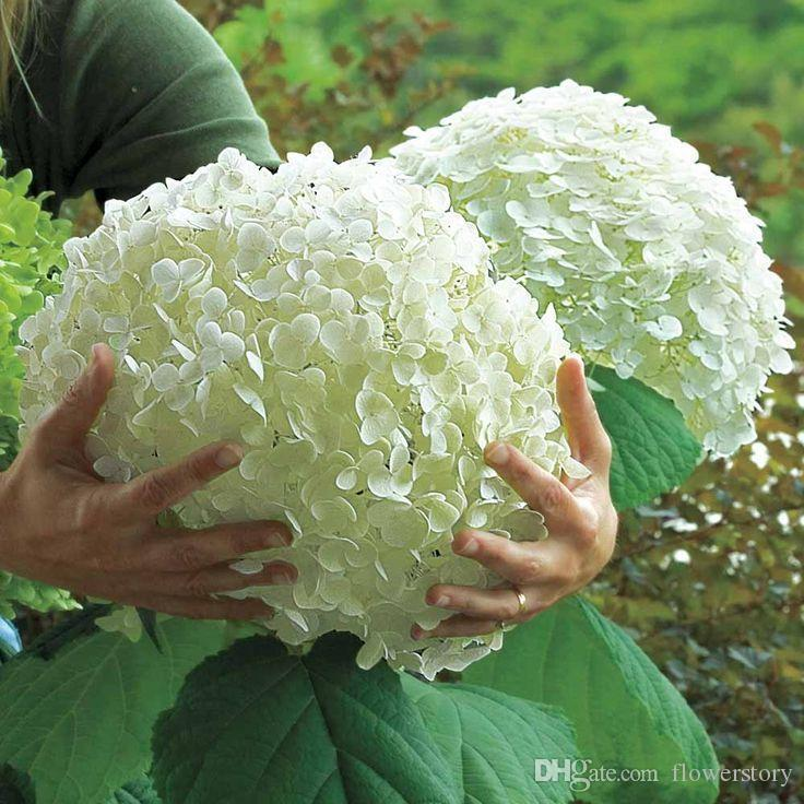 10 white hydrangea flower seedsrare color balcony or yarony or yard flower plant free sd flower plant ss204 from flowerstory