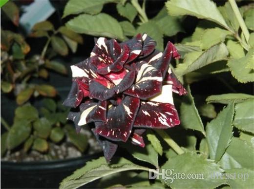 Envío gratis multicolor rojo oscuro y blanco semillas de flores de rosa * 100 semillas por paquete * balcón en macetas flores plantas de jardín