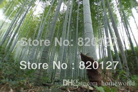 Grosshandel Moso Bambus Riesigen Mao Bambus Samen Phyllostachys