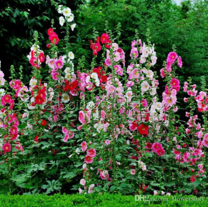 2019 20 Hollyhock Seeds Impressive Easy To Care High