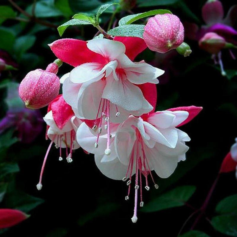 Best a package pink fuchsia seeds lantern flower bonsai fuchsia best a package pink fuchsia seeds lantern flower bonsai fuchsia perennial flowering plants under 993 dhgate mightylinksfo