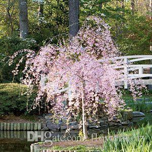 2018 20 Pink Fountain Weeping Cherry TreeDiy Home Garden Dwarf TreeEverybody Wants It Ss119 From Flowerstory 207
