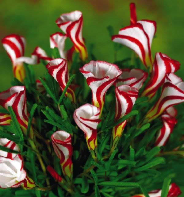 Oxalis Versicolor Flowers Seeds Worlds Rare For Garden Home Planting Oversicolor Semillas Carnivorous Plant Flower Seedlings Graine