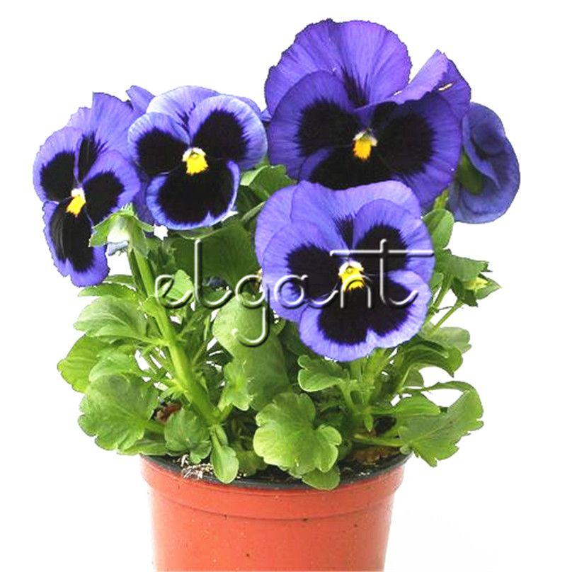 Acheter 100 Graines Pourpre Bleu Blotch Pansy Grande Fleur Viola