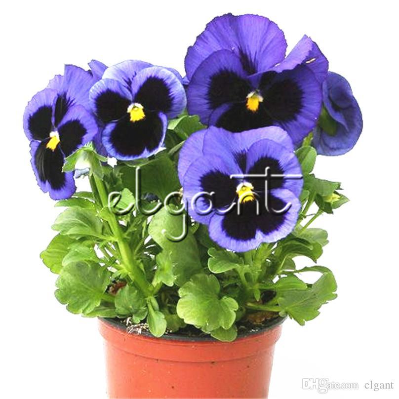 Acquista 100 Semi Viola Blu Macchia Viola Del Fiore Grande Viola