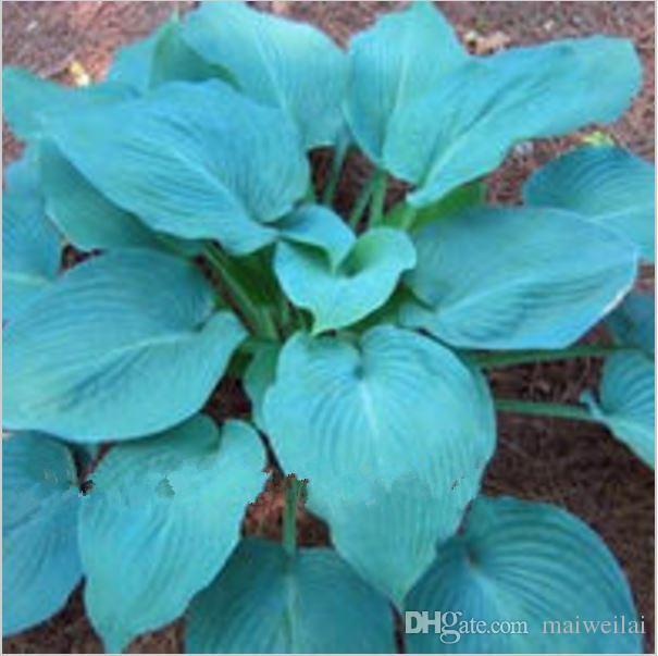 2019 Hot Sale Bonsai Pack Blue Hosta Seeds Perennials Plantain Lily