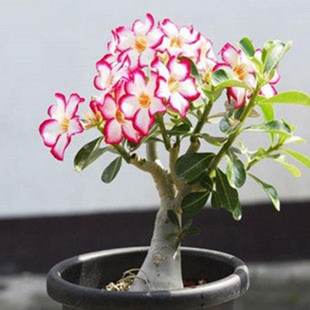 1 PCS Unique Pink Red Edge Desert Rose Seeds Potted Flowers Seeds Ornamental Plants Balcony Adenium Obesum Seeds
