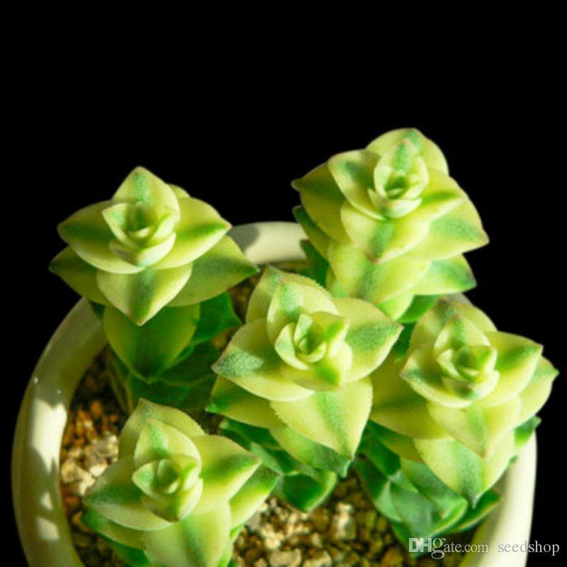 100 stücke farbe mischen samen grün pflanzen samen paket paket angehende sukkulenten strahlung büro kombiniert topf sukkulenten pflanzensamen