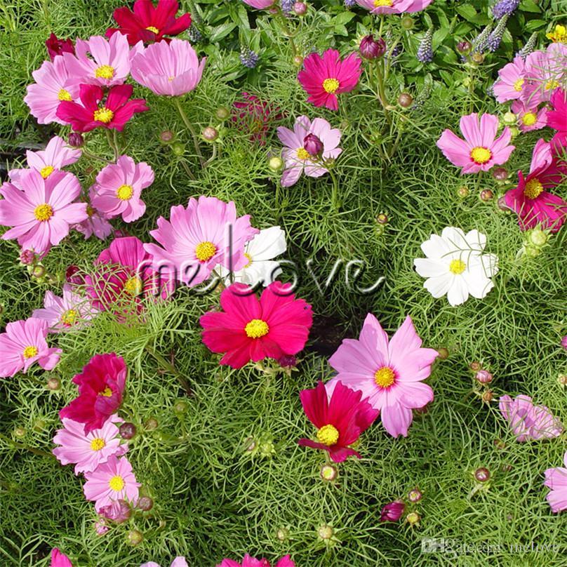compre cosmos enano variedad flor 500 semillas mix color más fácil
