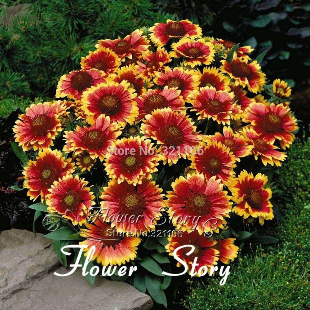 Blanket Flower Gaillardia Seeds Excellent Flower Blossom Yearly