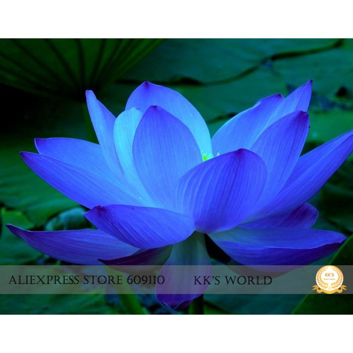 2018 the rarest blue lotus flower seeds nelumbo nucifera hybrid 2018 the rarest blue lotus flower seeds nelumbo nucifera hybrid strong fragrant garden bonsai flower all seasons planting available from bigbox mightylinksfo
